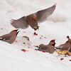 Bohemian and Cedar waxwings fighting over crabapple in snow, Maine nature, wildlife, photograph, photography, image, behavior, bird, birding, Maine