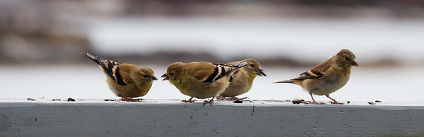 American Goldfinches, non breeding plumage, olive, Phippsburg, Maine, flock with seed, winter nature, wildlife, photograph, photography, image, behavior, bird, birding, Maine