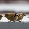 American Goldfinches, non breeding plumage, olive, Phippsburg, Maine, flock with seed, winter nature, wildlife, photograph, photography, image, behavior, bird, birding, Maine