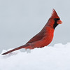 Northern cardinal, male, side view perched in snow, winter, Phippsburg, Maine