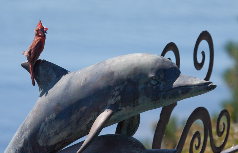 Northern Cardinal singing perched on top of a dolphin statue, Phippsburg, Maine