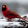 brilliant red male Northern Cardinal in snow with seed, winter, bird, food, Phippsburg, Maine