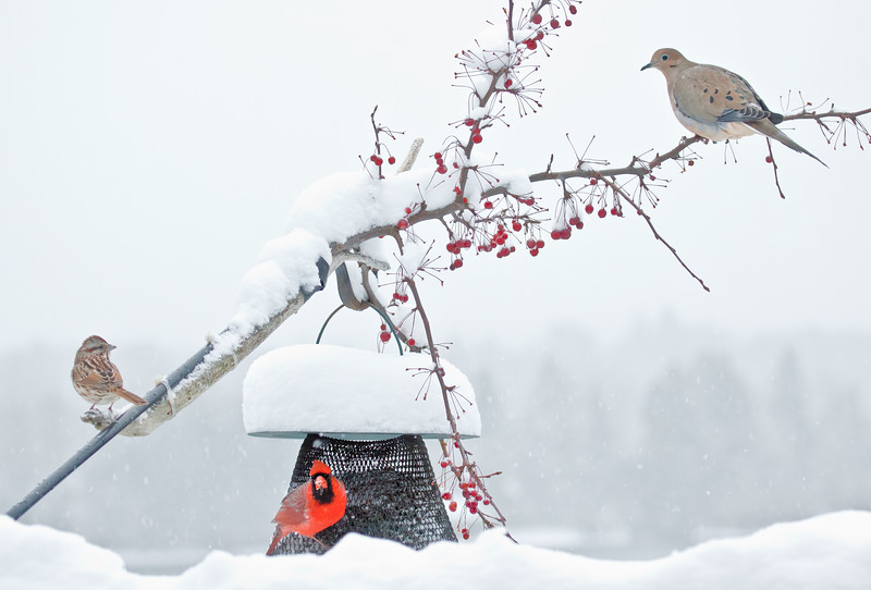 Song sparrow, Northern cardinal, male and Mourning dove in snow with crab apples and bird feeder, winter, Phippsburg, Maine. Always great to have more than one species present at once on the feeders.
