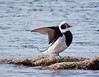 Long-tailed Duck Drake Stretching Wings Phippsburg, Maine, waterfowl, birds, Sagadahoc County