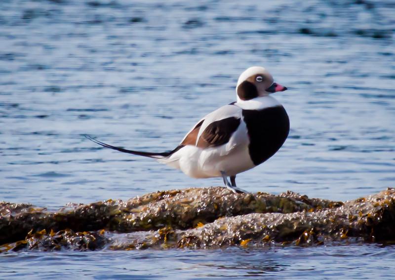 Long-tailed Duck Drake Standing Phippsburg, Maine, waterfowl, birds, Sagadahoc County