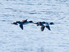 Common Goldeneyes In Flight Phippsburg, Maine, waterfowl, birds, Sagadahoc County