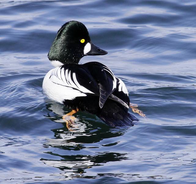 Common Goldeneye Drake Phippsburg, Maine, waterfowl, birds, Sagadahoc County