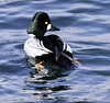 Common Goldeneye Drake Phippsburg, Maine, waterfowl, birds, Sagadahoc County