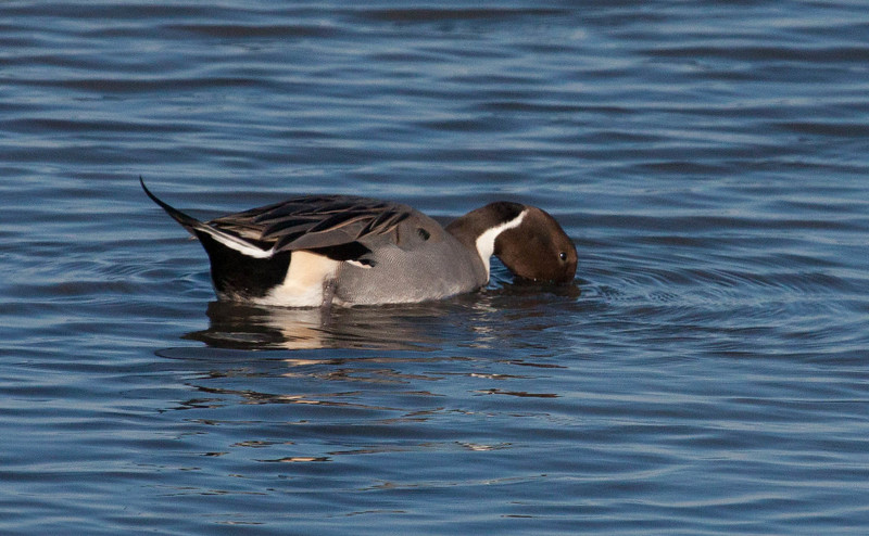 Northern Pintal duck drake, handsome brown head an heathered gray feathers