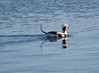 Long-tailed Duck Drake Swimming Phippsburg, Maine, waterfowl, birds, Sagadahoc County