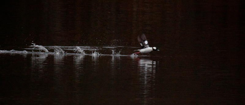 Buffle Head Taking Off Phippsburg, Maine, waterfowl, birds, Sagadahoc County