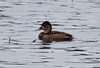 Female Ring-necked Duck, Left Facing Phippsburg, Maine, waterfowl, birds, Sagadahoc County