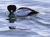 Common Goldeneye Drake snorkeling with bill in the water looking for food, classic behavior Phippsburg, Maine, waterfowl, birds, Sagadahoc County