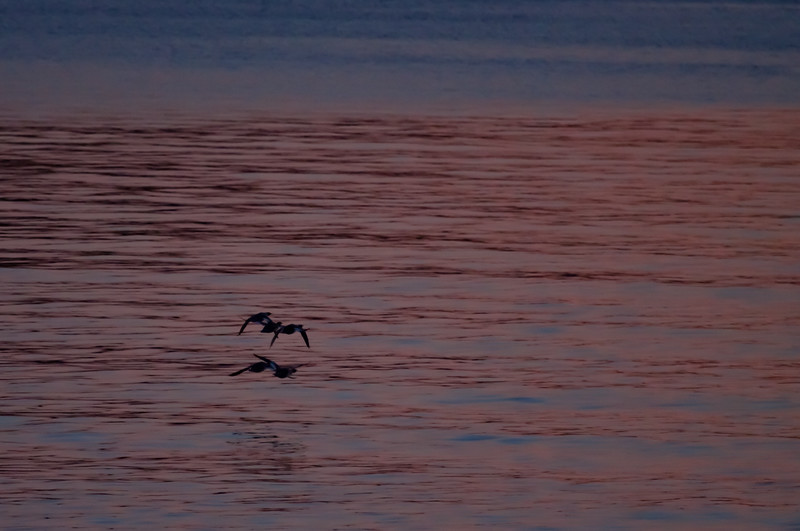 Common Mergansers At Sunset Phippsburg, Maine, waterfowl, birds, Sagadahoc County