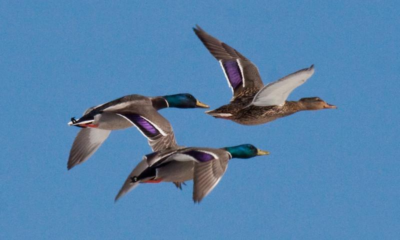 Mallard Trio In Flight Phippsburg, Maine, waterfowl, birds, Sagadahoc County