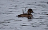 Female Ring-necked Duck, Right Facing Phippsburg, Maine, waterfowl, birds, Sagadahoc County