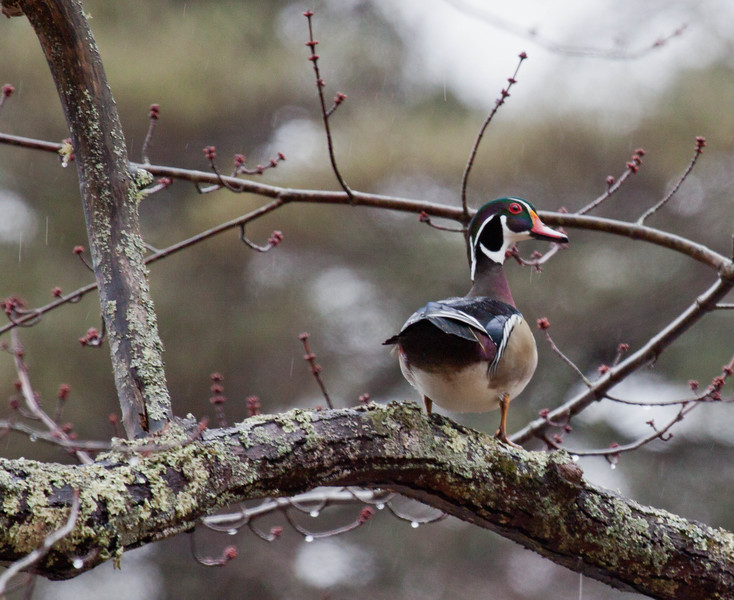 Wood duck drake. Wood Ducks are Maine's only perching duck. They are dependent on trees for nests. Wood Ducks make nests in tree cavities.Wood Ducks perch and nest in trees unlike most other dabbling ducks.