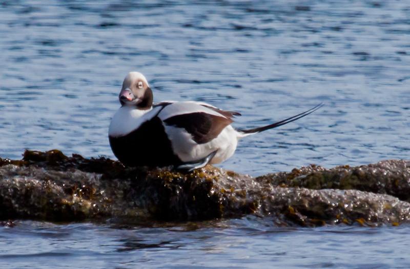 Long-tailed Duck Drake Sitting Phippsburg, Maine, waterfowl, birds, Sagadahoc County