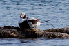 Long-tailed Duck Drake Sitting Phippsburg, Maine, waterfowl, birds, Sagadahoc County