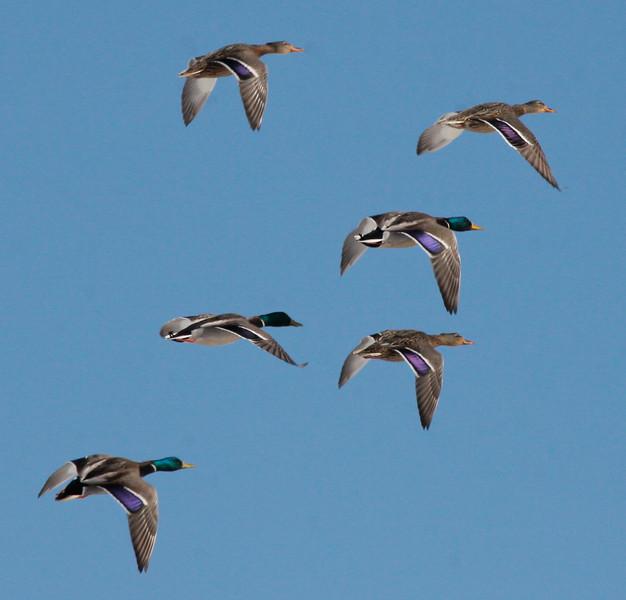 Mallards In Flight Phippsburg, Maine, waterfowl, birds, Sagadahoc County
