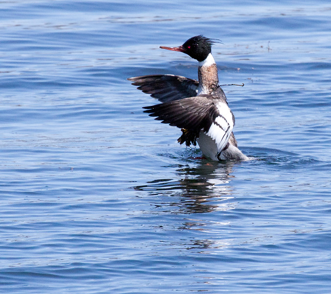 """Red Breasted Merganser drake, """"Sawbill"""" draped with shawl of sea weed trying to shake it off, wings raised forward. The bird came up to the surface after diving for crustaceans and rose into the sea weed which it then could't shake loose, Phippsburg, Maine spring Phippsburg, Maine, waterfowl, birds, Sagadahoc County"""