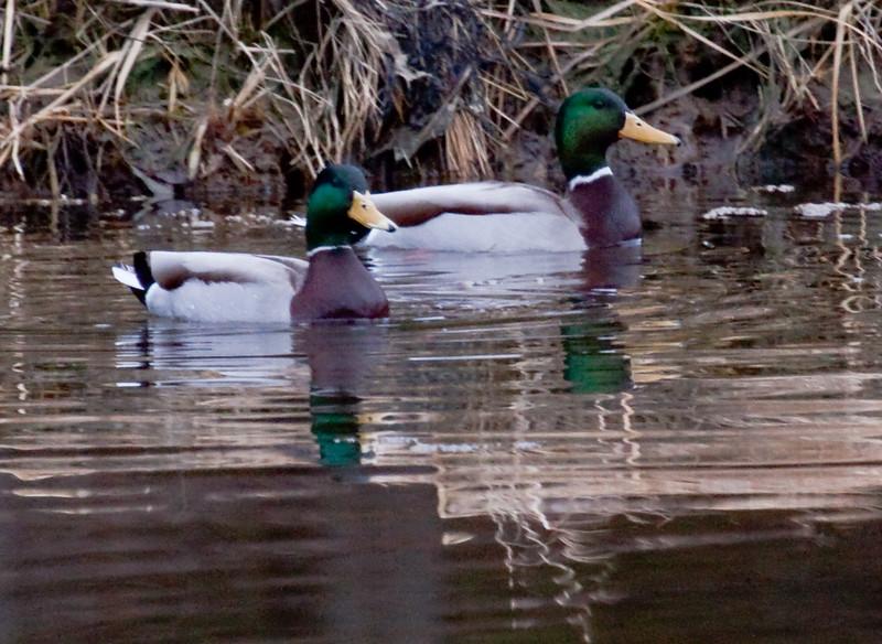 Mallard Drakes Phippsburg, Maine, waterfowl, birds, Sagadahoc County