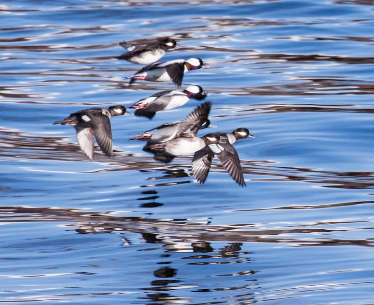 Bufflehead ducks in flight on the Ducktrap River, Lincoln, Maine , March