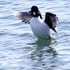 Common Golden-eye, Male In Lift Off Phippsburg, Maine, waterfowl, birds, Sagadahoc County