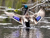 Mallard Wing Stretching From Behind Phippsburg, Maine, waterfowl, birds, Sagadahoc County
