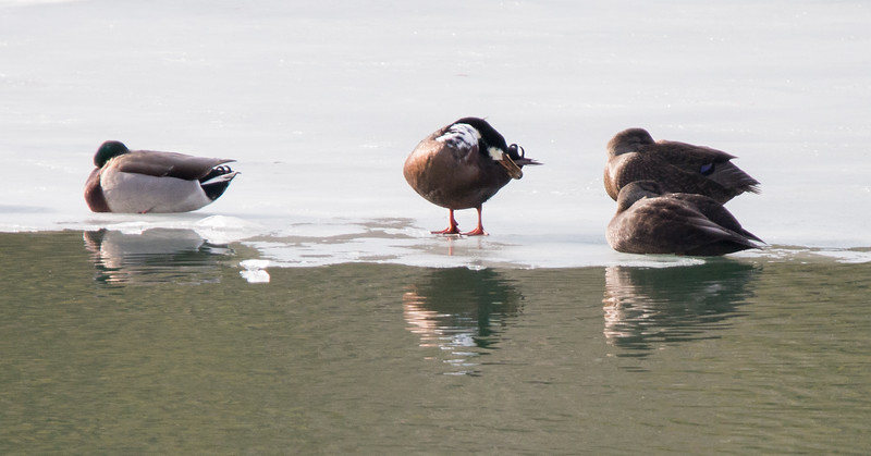Mallards, American Black ducks and odd plumaged duck. Looks like hybrid of Black Duck, Mallard and possible domestic. New Meadows Marina from the Bath side and the Brunswick side, January 19, 2015