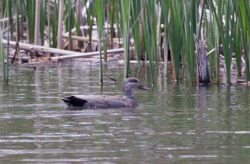 Gadwall duck, Capisic Pond, Portland Maine May, 15, 2010