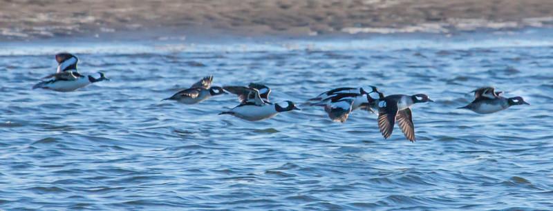 Bufflehead Ducks in flight, Popham Beach State Park at the lagoon, December Phippsburg Maine