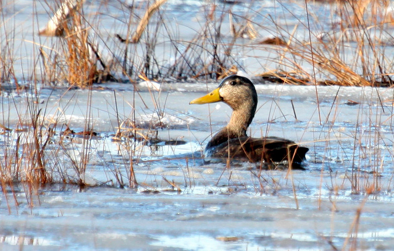 American Black Duck drake in water that is mostly ice In Winter Phippsburg, Maine, waterfowl, birds, Sagadahoc County