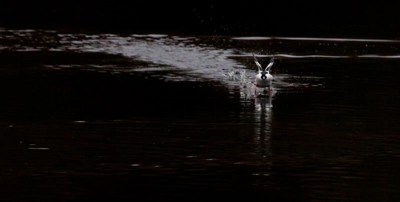 Buffle Head Landing Phippsburg, Maine, waterfowl, birds, Sagadahoc County