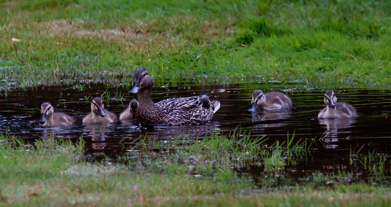Phippsburg, Maine, waterfowl, birds, Sagadahoc County