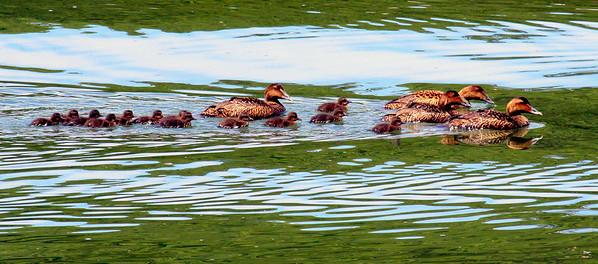 Common Atlantic Eider Family, Hens & Chicks Phippsburg, Maine, waterfowl, birds, Sagadahoc County