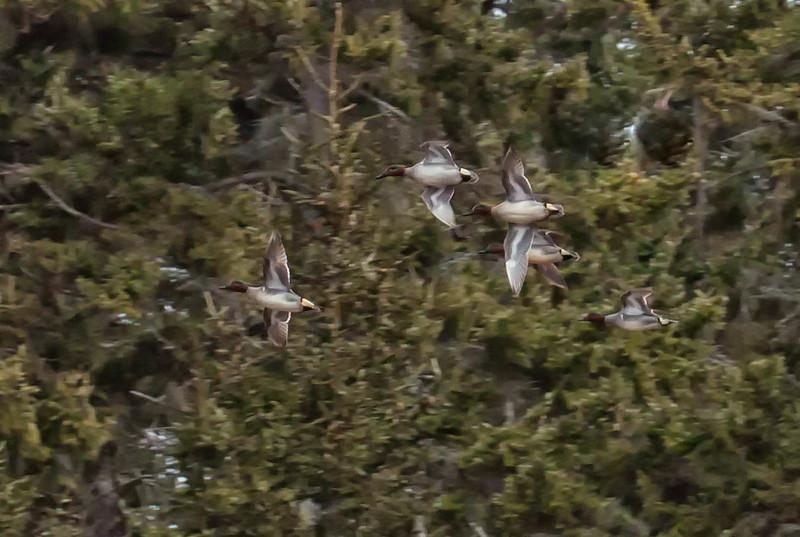 Flock of Green Winged Teal ducks in flight, Phippsburg, Maine