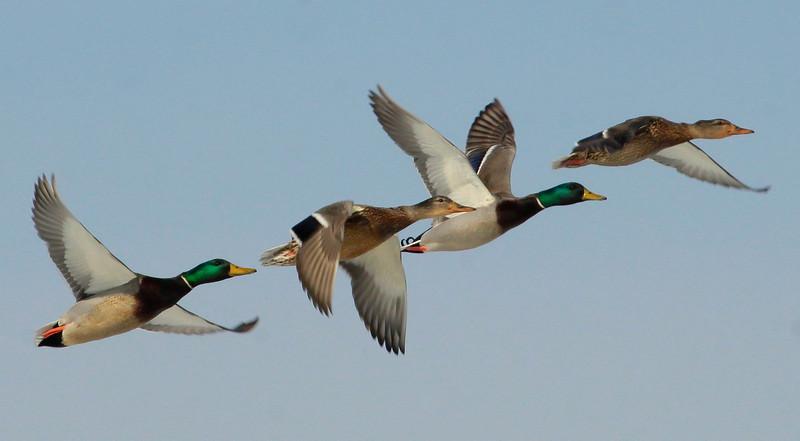 Mallard ducks in flight, drakes and hens, New England