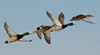 Mallard ducks in flight, drakes and hens, New England