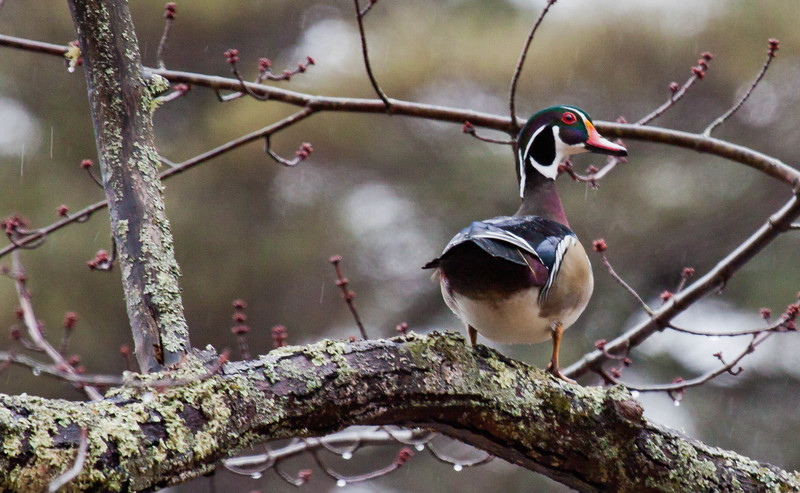 Wood duck drake. Wood Ducks are Maine's only perching duck. They are dependent on trees for nests. Wood Ducks make nests in tree cavities.
