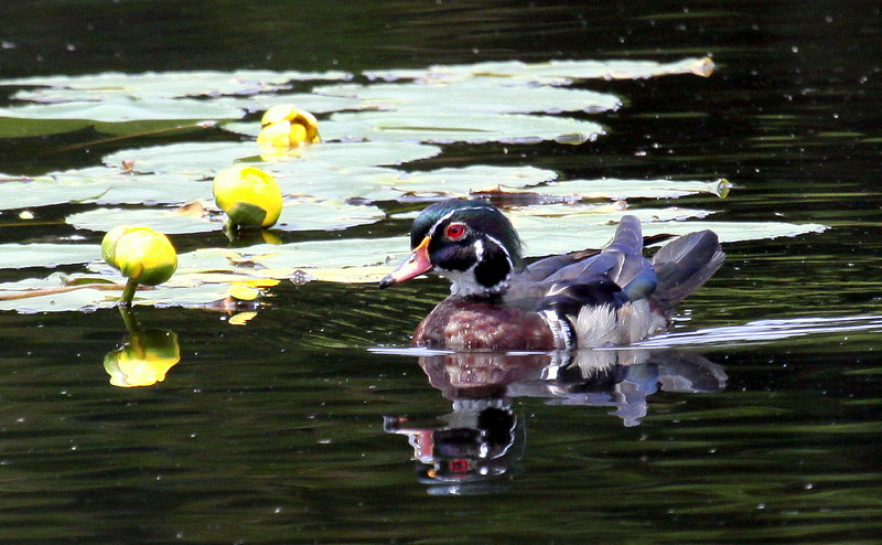 Wood Duck Drake swimming in pond with Yellow Pond Lilies, Phippsburg, Maine, waterfowl, birds, Sagadahoc County. Pond Lilies are an indigenous, native wildflower to Maine.