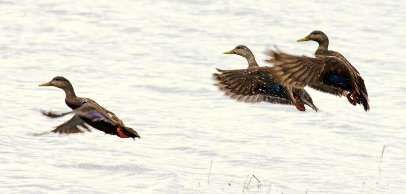 American Black Ducks In Flight, About To Land Phippsburg, Maine, waterfowl, birds, Sagadahoc County