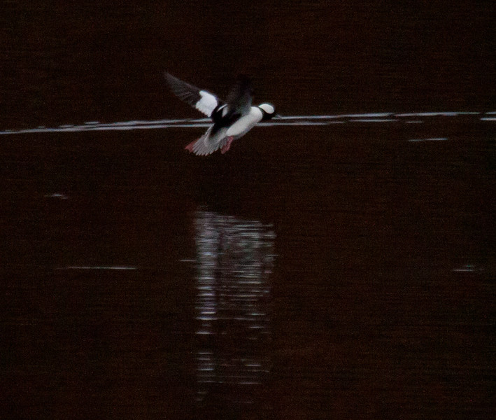Buffle Head In Flight Phippsburg, Maine, waterfowl, birds, Sagadahoc County