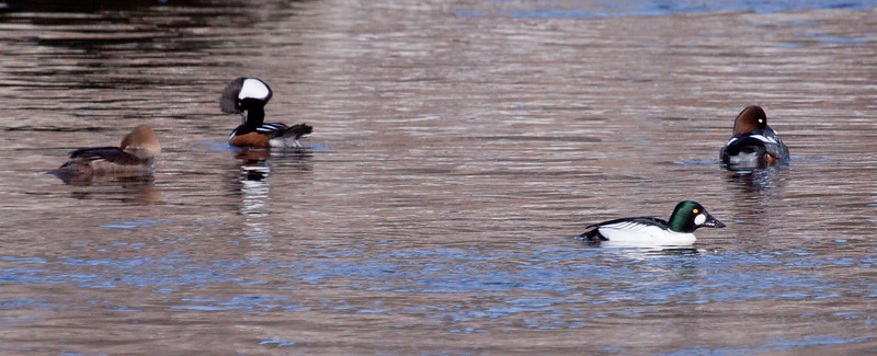 Hooded Mergansers, hen and drake with Common Goldeneyes, hen and drake, Phippsburg Maine winter birds