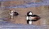 Hooded Mergansers close up, left to right hen and drake, Phippsburg Maine. These are winter birds here that have migrated from north to winter here where ther is open, unfrozen water. The prefer enclose small bodies of water, unlike other mergansers that look for more open expanses. Phippsburg, Maine, waterfowl, birds, Sagadahoc County