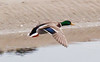 Mallard In Flight Phippsburg, Maine, waterfowl, birds, Sagadahoc County