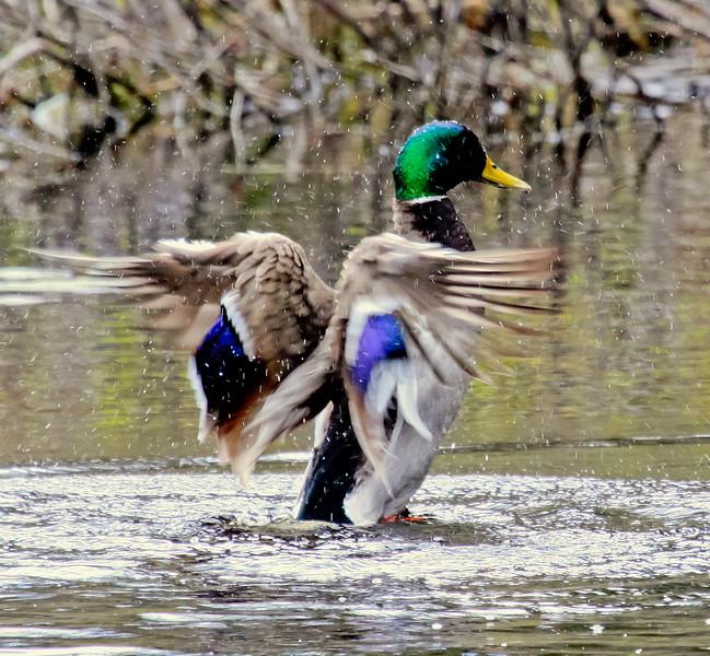 Mallard Wing Stretching Phippsburg, Maine, waterfowl, birds, Sagadahoc County