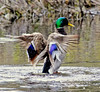 Mallard Wing Stretching Phippsburg, Maine, waterfowl, birds, Sagadahoc County
