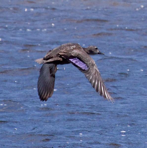American Black Duck In Flight Phippsburg, Maine, waterfowl, birds, Sagadahoc County
