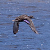 American Black Duck In Flight Phippsburg, Maine, waterfowl, birds, Sagadahoc County